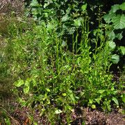 Habichtskraut-Scheingreiskraut (Erechtites hieraciifolia)