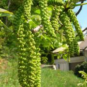 Echte Walnuss (Juglans regia) | männliche Blüten