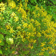 Deutsch-Ginster (Genista germanica)