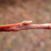Silber-Weide (Salix alba) | Knospe