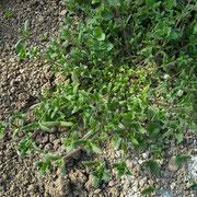 Gewöhnliches Hornkraut (Cerastium holosteoides)