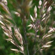 Samt-Honiggras (Holcus lanatus)