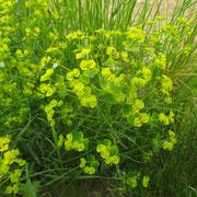 Esel-Wolfsmilch (Euphorbia esula)