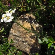 Bitter-Schafgarbe (Achillea clavennae)