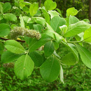 Sal-Weide (Salix caprea) | weibliche Pflanze