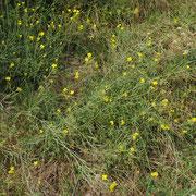 Schmalblatt-Doppelrauke (Diplotaxis tenuifolia)