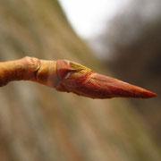Schwarz-Pappel (Populus nigra) | Knospe