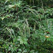 Riesen-Schwingel (Festuca gigantea)