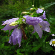 Nessel-Glockenblume (Campanula trachelium)