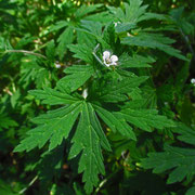 Sibirien-Storchschnabel (Geranium sibiricum)