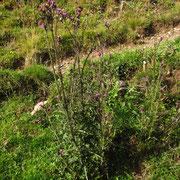 Sumpf-Kratzdistel (Cirsium palustre)