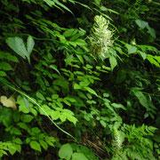 Ähren-Teufelskralle (Phyteuma spicatum)