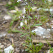 Gewöhnlicher Klaffmund (Chaenorhinum minus)