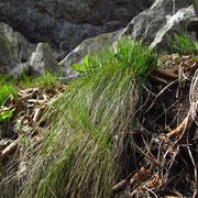 Erd-Segge (Carex humilis)