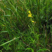 Echter Odermennig (Agrimonia eupatoria)