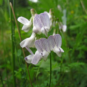 Wald-Wicke (Vicia sylvatica)