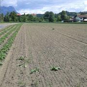 Knoblauchfeld, 1. Jahr - Anfang Juni 2016