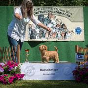 """Norfolk Terrier Hündin """"Hummel van de Erdmanntjes"""""""