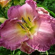 Lavender Heartthrob  Stamile 2002   tet  dor