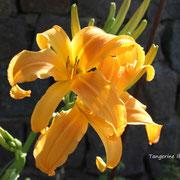 Tangerine Ibis   Mahieu  2003   dip  dor