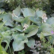 H. sieboldiana 'Elegans'