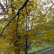 Châtaigniers à la Rousselie en automne