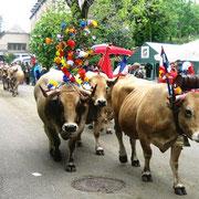 Vaches de race Aubrac en transhumance