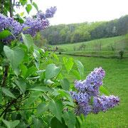 Le lilas en fleur à La Rousselie