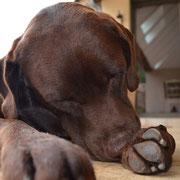 Ibis notre Labrador