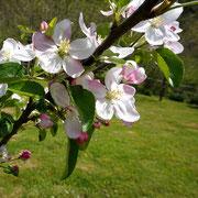 Pommier en fleurs à La Rousselie