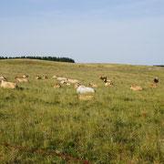 Le plateau d'Aubrac et les vaches