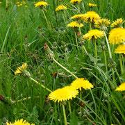Pissenlits fleuris