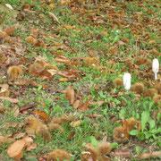 Châtaignes et champignons