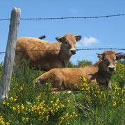 Vaches en Aubrac