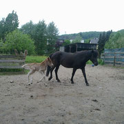 Þruma frá Litlalandi mit Fohlen Daladis vom Albingerhof