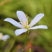 Shortleaf Rosegentian---Sabatia brevifolia, Photo by Art Smith