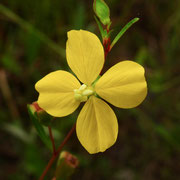 Seaside primrosewillow, Ludwigia maritima, Photo by Art Smith