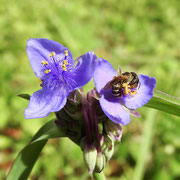 Spiderwort/Bluejackets--Tradescantia ohiensis, photo by Art Smith
