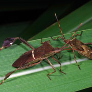 Leaf-footed bugs, Macrophotography by Randy Stapleton