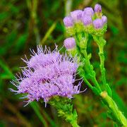 Florida Paintbrush--Carphephorus corymbosus, Photo by Art Smith