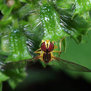 Hover fly, Macrophotography by Randy Stapleton