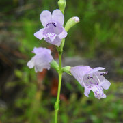 Eastern false dragonhead-  Physostgia purpurea, Photo by Art Smith