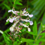 Wood sage-  teucrium canadense, Photo by Art Smith