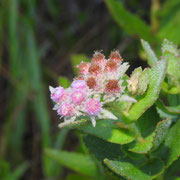 rosy camphorweed---pluchea rosea (or baccharis), Photo by Art Smith