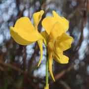 Horned Bladderwort--  Utricularia cornuta, photo by Art Smith