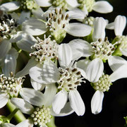 White Crownbeard---Verbesina virginica, photo by Art Smith