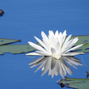 water lily-  nymphaea odorata, Photo by Art Smith