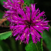 Ironweed, Macrophotography by Randy Stapleton