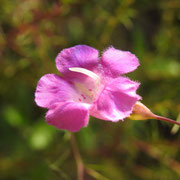 Flaxleaf False Foxglove--Agalinis linifolia, Photo by Art Smith