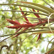 Cardinal Airplant--Tillandsia fasciculata, photo by Art Smith
